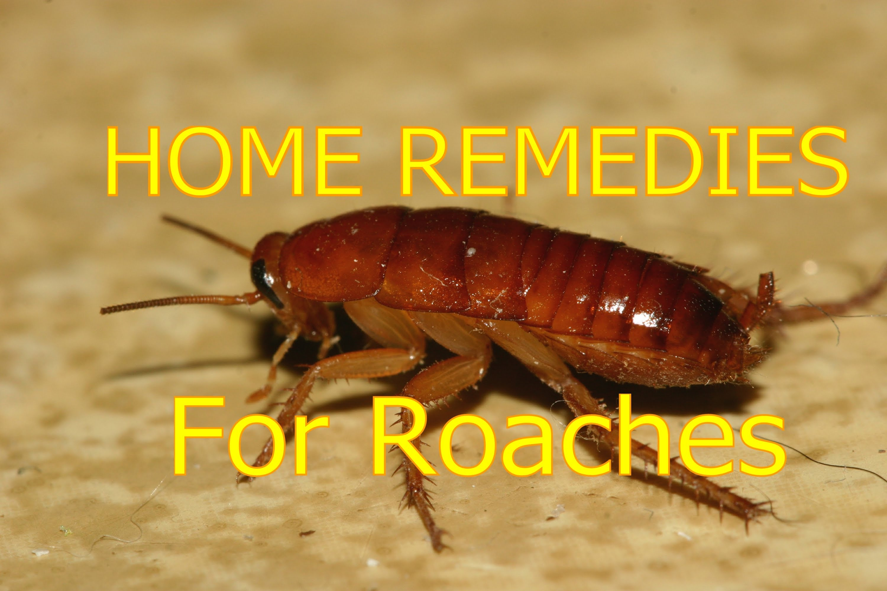 What are the most effective home remedies for cockroaches in the kitchen?