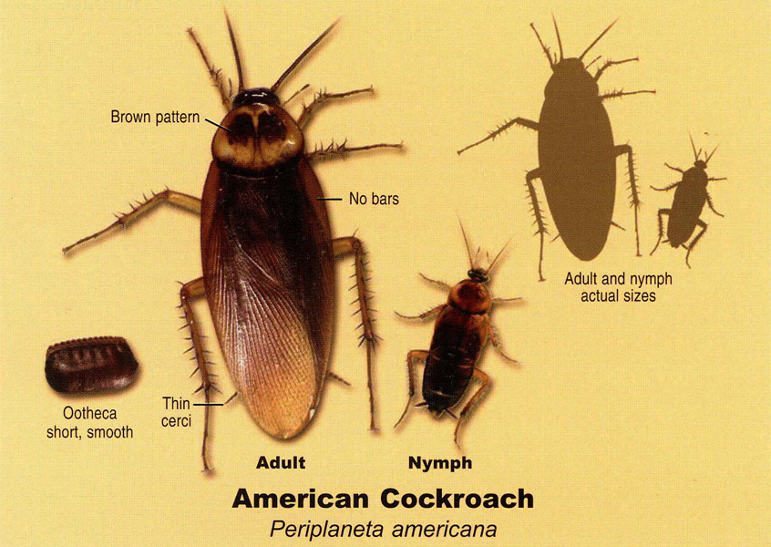 What is the difference between the wood roaches and cockroaches?
